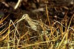 Common Snipe (Gallinago gallinago)